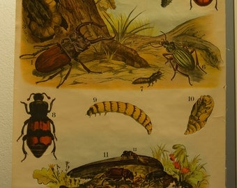Pull Down Chart  Lady bird Flying stag beetle  School Chart