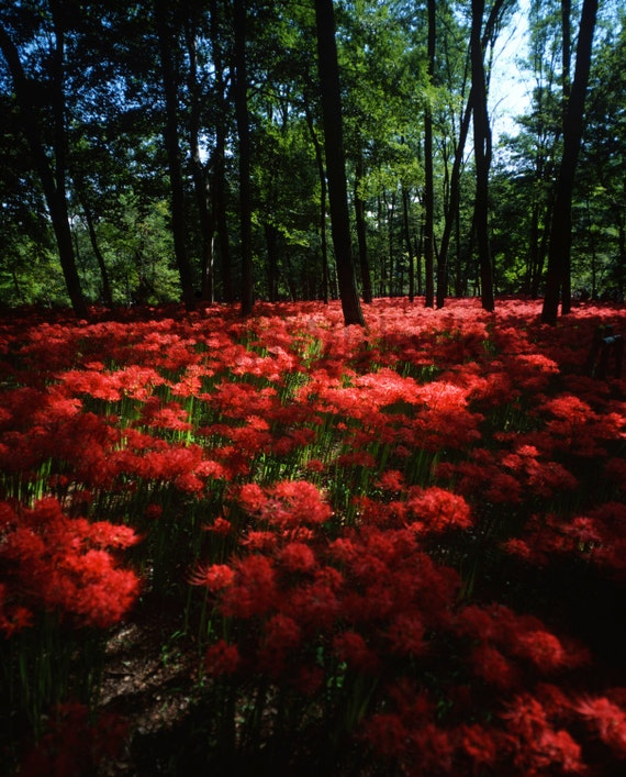 Japanese Forest Autumn Landscape Photography Spider Lily