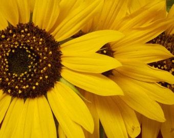 Sunflower Sunshine (8x10,10x13,11x13 Yellow Sunflower Photo)