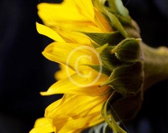 Sunflower Photography, Single Sunflower, Yellow Sunflower, Floral,Photography, Sunflower, Nature Photo, Canvas Art, Black and White, WallArt