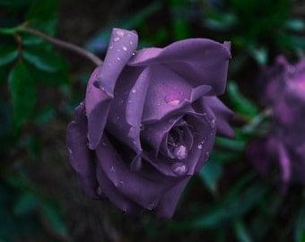 Purple Rose Rain Drops