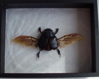 Heiocopris dominus (Thai scarabeus) real framed beetle