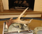Natural Whitetail Deer Antler Shed #28
