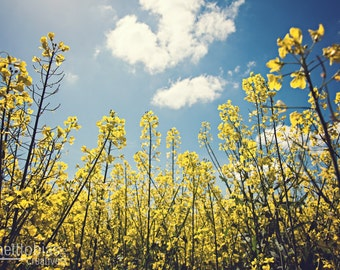 Canola Flowers in a Field, Canola Against a Blue Sky, Canola Field in Germany