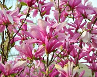 Magnolia Liliiflora Shrub 10 Seeds, Mulan Garden Magnolia, Tulip or Lily Magnolia
