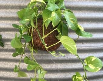 Devils Ivy hanging Kokedama- By popular demand!