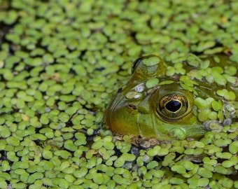 Frog Hiding, Frog in Water, Green, Amphibian, Toad, Frog, Nature, Wall Art, Wall Décor, Fine Art, Home Décor