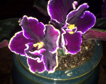 African Violet (Edge of Darkness)