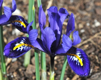 15 Harmony Miniature Iris Bulbs - Fall Shipping