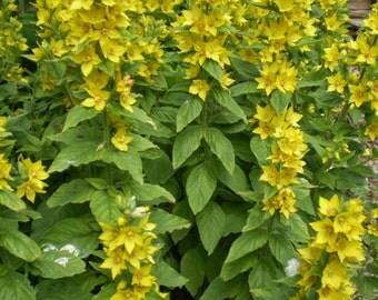 2 Organic Yellow Loosestrife Root Sytems,Cottage Garden Plant,Lysimachia Vulgaris