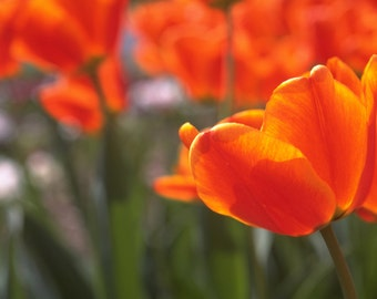 Orange Tulip Garden