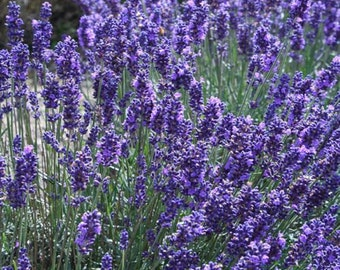 English Lavender Flower Seeds/Lavandula Angustifolia - Vera/Perennial   75+