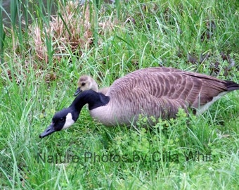 Canadian Geese in 4x6 or 8x10