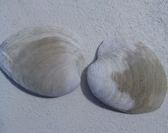 2 Large Clam Shells - From the Gulf of Mexico