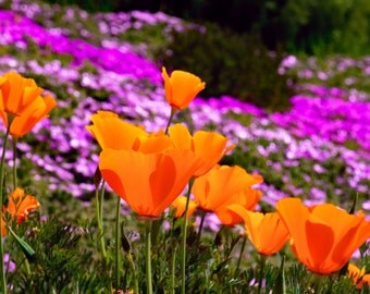 California Poppies, Spring Wildflower Fields, Very Colorful