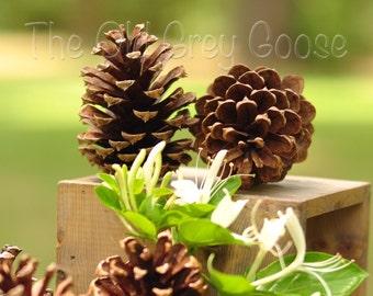 """300 Medium Pine Cones / 2"""" - 3"""""""