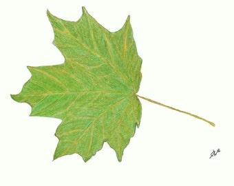 "Sugar Maple Leaf Print - Autumn Leaves - 5"" x 7"""