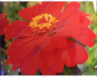 Orange red Zinnia