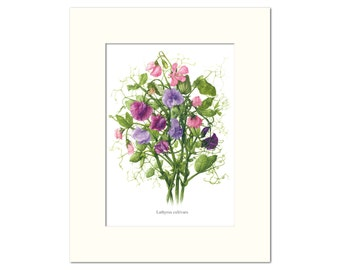 Lathyrus cultivars Botanical Print by Heather Raeburn