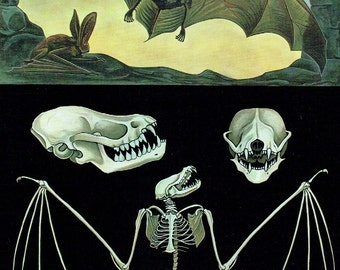 Old Map Zoology beats old poster school zoology 1990 Jung-Koch-Quentell bat skeleton; 21 x 29cm apprx / 8.26 x 11,41 inches