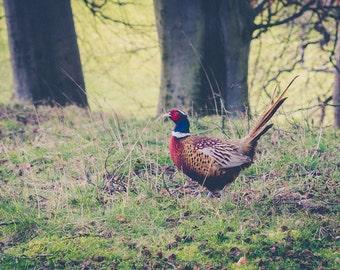 Digital Download 'pheasant'. Fine Art Photography, Wall Art, Nature Photography, Animals