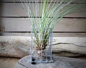 Tillandsia, air plant, hanging or standing aluminium cage planter