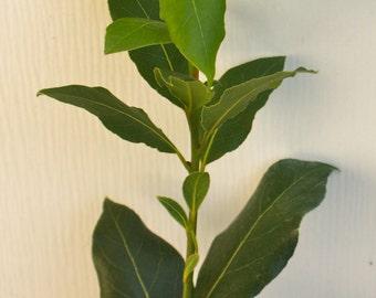 Bay Leaf Herb ~ Sweet Bay Laurel ~ Laurus nobilis ~ Live Starter Plant