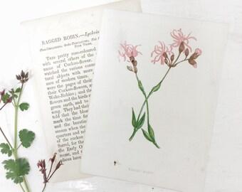 1883 Anne Pratt Wild Flower Botanical Print Book Plate Ragged Robin
