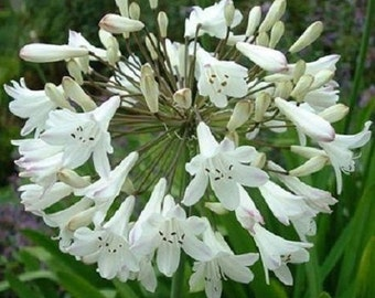 50+ White African Lily Agapanthus / Flower Seeds