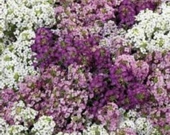 50+ Lilac Pink and White Mix Iberis Candytuft / Flower Seeds