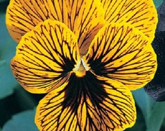 30+ Viola Angel Tiger Eye / Perennial Flower Seeds