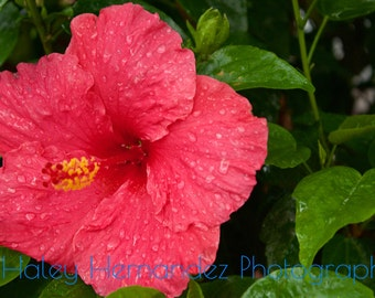 Pink Hibiscus Flower Photo