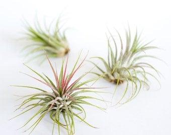 The Air Plant Trio, Bulk Airplants, Tillandsia Ionantha, Indoor Plants, Terrarium Plants, House Plants, Decorative Plants