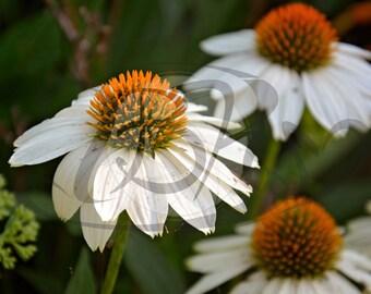 Echinacea Flower 3