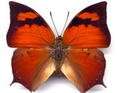 Orange & Pink Butterfly, Anaea riphaeus, spread for your project or laminated