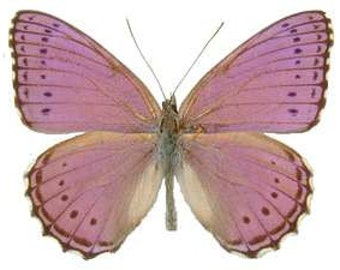 Real Crenis pechueli Butterfly, spread for your project or laminated or unmounted