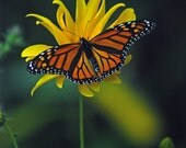 Monarch Butterfly Beach Cape May New Jersey Fine Art Photograph
