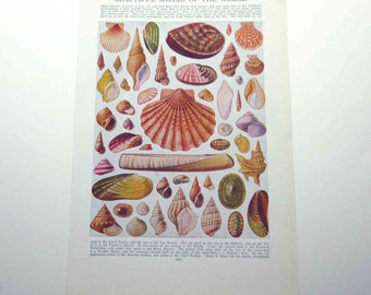 Vintage Double Sided Color Plate of Beautiful Shells of the World