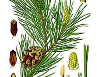 Bulk Conifer Essential Oils Pine Fir Needle White Fir One Ounce