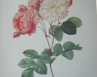 Roses 1954 Vintage Print Pierre Joseph Redoute #3 - Cottage Chic - EnglishPreserves