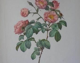 Roses 1954 Vintage Print Pierre Joseph Redoute #13 - Cottage Chic - EnglishPreserves