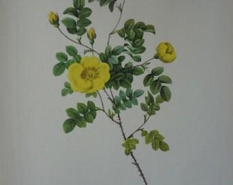 Roses 1954 Vintage Print Pierre Joseph Redoute #20 - Cottage Chic - EnglishPreserves