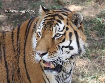 Siberian, Tiger, Wildlife, Russia, China, Korea Peninsula, Louisville Zoo, Louisville, Kentucky, Fine Art, Photograph, Print, 8 x 10, Glossy