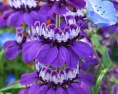 Organic Chinese Houses Heirloom Wildflower Flower Seeds Collinsia Heterophylla