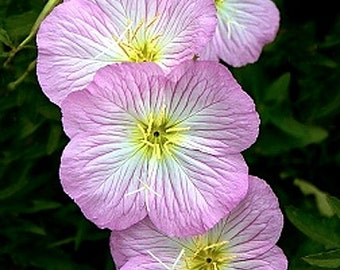 Organic Showy Evening Primrose Wildflower Heirloom Seeds