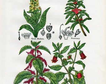 Antique Print of Medicinal and Culinary Herbs, Belladonna, Nettle, Rosemary and Mullein
