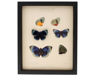 Butterfly Shadowbox Display featuring Charles Darwin Butterflies