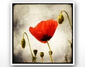 "Deluxe Signed 8""x8"" Print - Papaver"