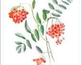 Rowan print watercolour autumn