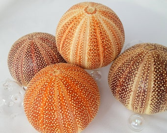 "Beach Decor Nautical English Channel Sea Urchin, Specimen Shell, EXTRA LARGE Sea Urchin, Orange Sea Urchin, Purple Sea Urchin, 4"" plus"